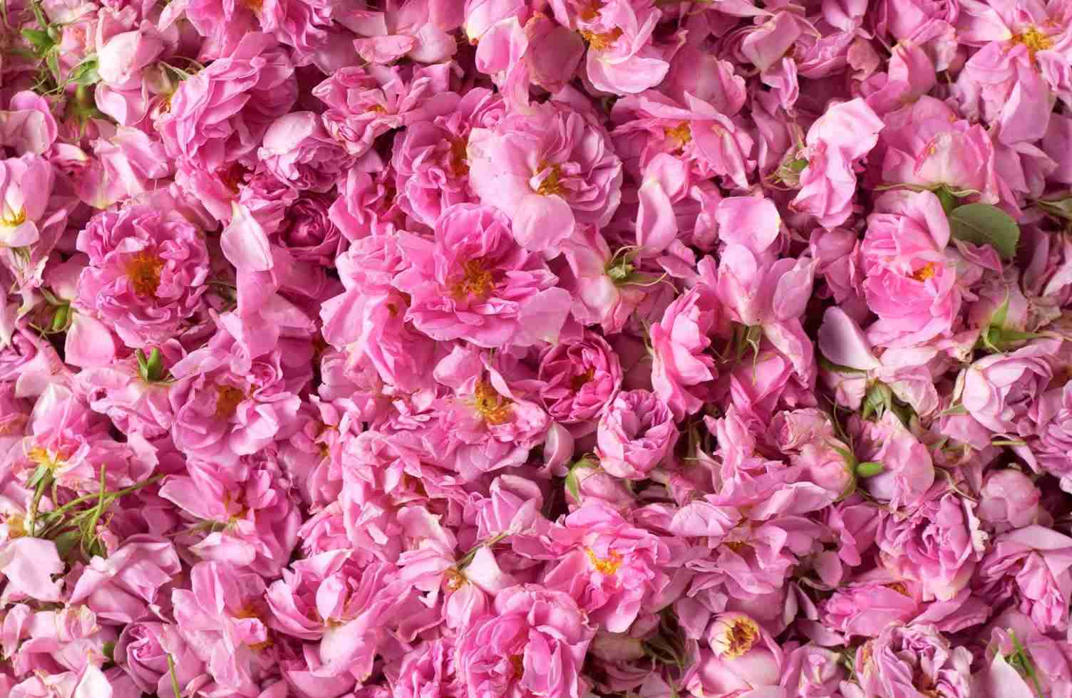 rose - photo #19